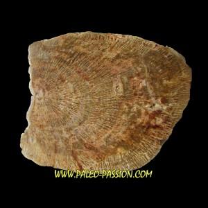 belle tranche de bois fossile silicifié (1)