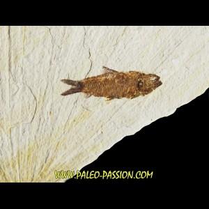 poisson fossile KNIGHTIA EOCAENA