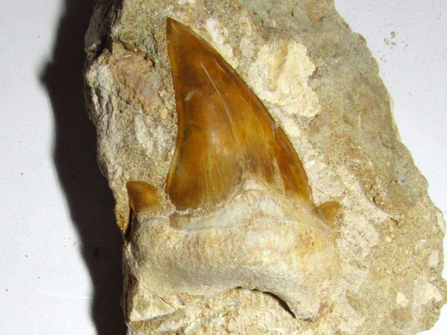 Otodus obliquus