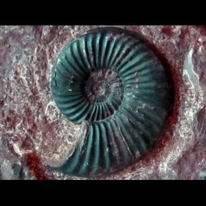Ammonites jurassique
