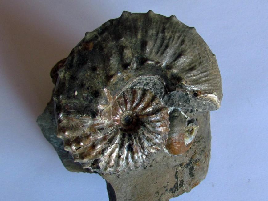 Ammonites Crétacé