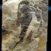 • Scorpion des mers •  Un spécimen d'Euryptéride (Remipes) conservé en vue ventrale, permettant de voir l'appareil masticatoire avec les dents, rarement conservé, rarement visible. La plaque fait 25 par 18 cm, l'Eurypterus, 20cm. Il vivait à l'âge du Silurien, il y a 420 millions d'années. Il a été trouvé dans la formation de Fiddler's Green dans l'Etat de New York aux Etats-unis. 100% naturel.  •  1200€  Lien vers la boutique dans notre bio  Fossiles / Chélicérates  Ref. 5006  #fossiles #fossile #fossils #fossil #eurypterus #chelicerates #eurypterusremipes #geology #paleontology #palaeontology #fossili #rocks #geologyrocks #igdaily #fossilcollector #fossilien #nature #evolution