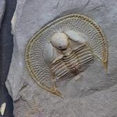 • Trilobite aveugle •  Un fossile impressionant d'un spécimen de Declivolithus titan (Fortey & alii, 2017) de 3,8 par 3,2cm. Il est accompagné par un Cyclopyges aff. Sibilla (Snajdr, 1982). Il date de l'âge du Katien, à l'époque de l'Ordovicien supérieur, il y a environ 445 millions d'années. La qualité de conservation est exceptionnelle ! Ni le trilobite ni la guangue ne sont retouchés. On remarque la présence de Tomaculum problematicum sur le trilobite. Il a été trouvé dans la formation de Ktaoua, à Jbel Tijarfaiouine, au Maroc. L'ensemble comprend 1 Declivolithus et sa contre-empreinte, 1 Cyclopyges à coté, au autre Declivolithus au dos de l'empreinte.  •  480€  Lien vers la boutique dans notre bio Fossiles / Trilobites / Trilobites Maroc #fossils #trilobites #trilobite #katien #katian #fossiles #fossile #fossil #declivolithus #geology #paleontology #palaeontology #fossili #rocks #geologyrocks #archeology #igdaily #minerales #fossilcollector #fossilien #nature #evolution #paleopassion Ref. 4948