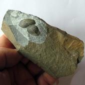 • Tariccoia arrusensis •  Un spécimen de 2,7cm environ de Tariccoia arrusensis. Cet arthropode Naroiid, aveugle et sans suture, vivait à l'époque de l'Ordovicien supérieur, il y a plus de 440 millions d'années. Il a été trouvé en Sardaigne, en Italie  •  1200€  Lien vers la boutique dans notre bio Fossiles / Autres arthropodes  Ref. 3440  #fossiles #fossile #fossils #fossil #geology #paleontology #palaeontology #tariccoia #tariccoiaarrusensis #rocks #geologyrocks #fossilcollector #fossilien #nature #evolution