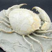 • Crabe de l'Éocène •  Un spécimen de Harpactocarcinus punctulatus de 11cm, vivant à l'époque de l'Éocène, il y a au moins 34 millions d'années.  Il a été trouvé à Monte Baldo, dans la province de Vérone, en Italie.  •  1400€  Lien vers la boutique dans notre bio Fossiles / Crustacés  Ref. 5008 #fossiles #fossile #fossils #fossil #harpactocarcinus #harpactocarcinus#harpactocarcinus #geology #paleontology #palaeontology #crabs #mudcrabs #rocks #geologyrocks #fossilcollector #fossilien #nature #evolution